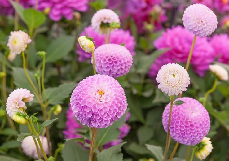 Dahlia 'Franz Kafka',Franz Kafka Dahlia, Pompon Dahlias, Purple Dahlias, Dahlia Tubers, Dahlia Bulbs, Dahlia Flower, Dahlia Flowers, summer bulbs