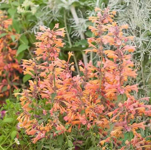 Agastache Rupestris, Rock Anise Hyssop, Sunset Hyssop, Threadleaf Giant Hyssop, Licorice Mint, Salmon flowers, Orange Flowers,