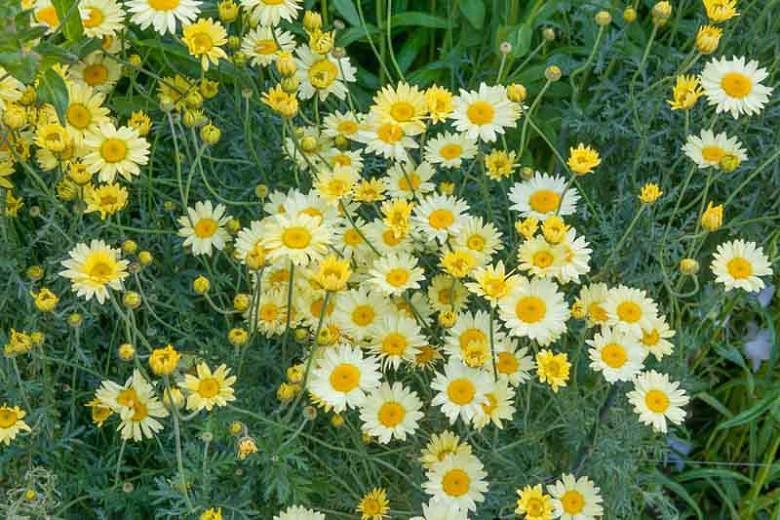 Anthemis Tinctoria 'E.C Buxton', Golden Marguerite 'E.C Buxton', Golden Chamomile 'E.C Buxton', Oxeye Chamomile 'E.C Buxton', Dyer's Chamomile 'E.C Buxton', Drought tolerant perennials, Yellow perennial flowers,