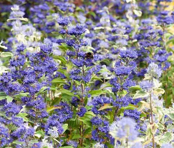 Caryopteris x clandonensis 'Inoveris', Bluebeard 'Inoveris', Caryopteris x 'Inoveris', Caryopteris x clandonensis 'Grand Bleu', Grand Bleu Bluebeard, Grand Bleu Blue Mist Spiraea, Blue Flowers, Blue Spiraea