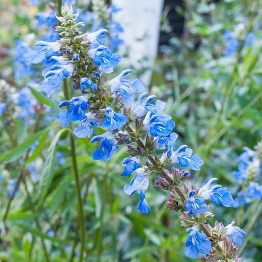 Salvia uliginosa, Bog Sage, Blue Spike Sage, Blue Salvia, Blue Sage, Blue Flowers