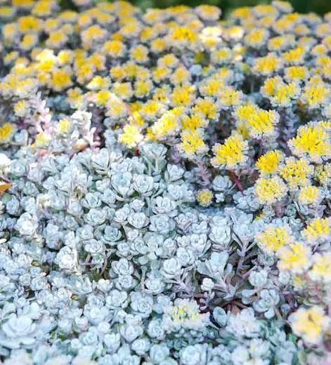 Sedum spathulifolium 'Cape Blanco', Stonecrop 'Cape Blanco', Spoon-Leaved Stonecrop 'Cape Blanco', Pacific Stonecrop, Broadleaf Stonecrop, White Sedum, Succulent