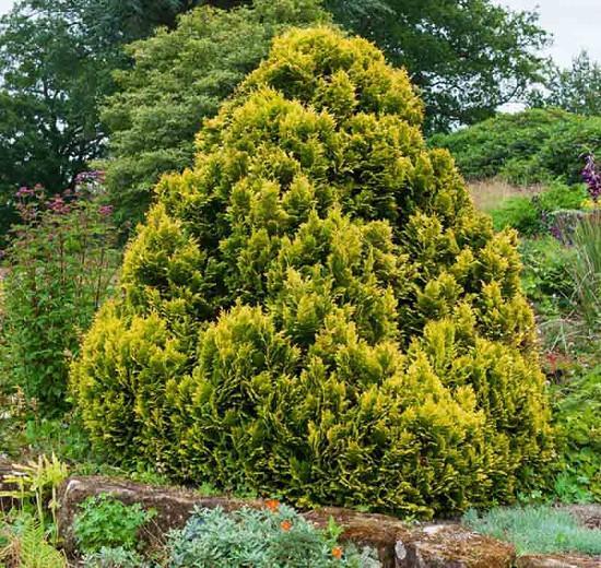 Chamaecyparis lawsoniana 'Minima Aurea', Lawson Cypress 'Minima Aurea', 'Minima Aurea' Lawson Cypress, Chamaecyparis 'Minima Aurea', Chamaecyparis lawsoniana 'Roger's Gold', Evergreen Tree, Golden Conifer, Golden Evergreen Tree