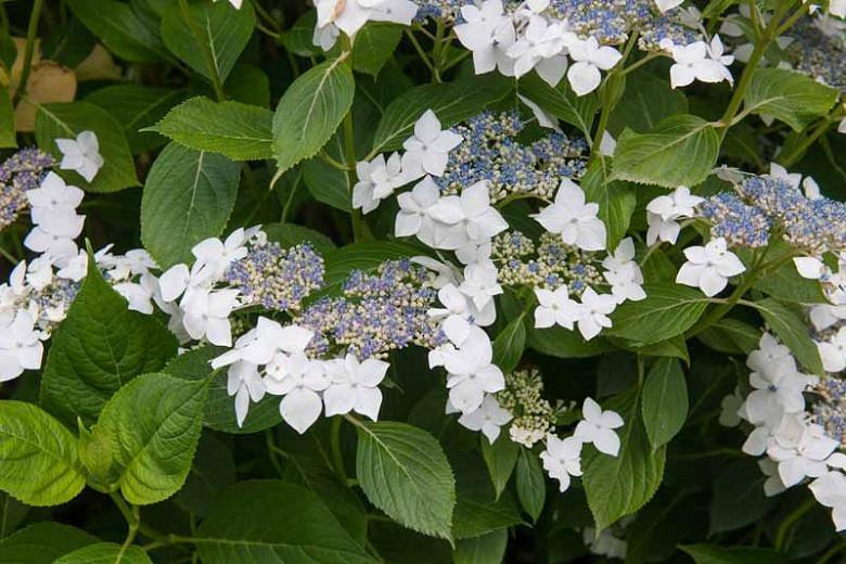 Hydrangea Macrophylla 'Lanarth White', Hydrangea Lanarth White, Lanarth White Hydrangea, Lacecap Hydrangea 'Lanarth White', white hydrangea, white flowers
