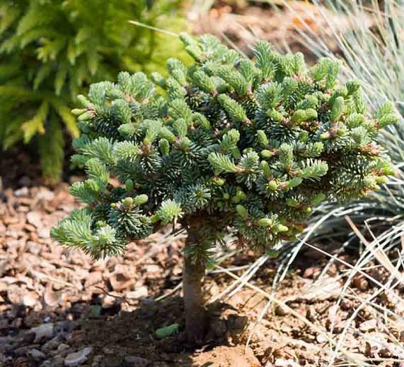 Abies procera 'Blaue Hexe', Blue Noble Fir, Noble Fir, Evergreen Conifer, Evergreen Shrub, Blue Conifer, Blue Fir, Dwarf Conifer