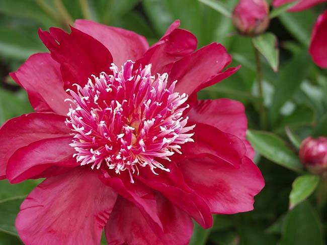 Paeonia Lactiflora 'Dr Jekyll', Peony 'Dr Jekyll', 'Dr Jekyll' Peony, Chinese Peony 'Dr Jekyll' , Common Garden Peony 'Dr Jekyll', Red Peonies, Red Flowers, Fragrant Peonies