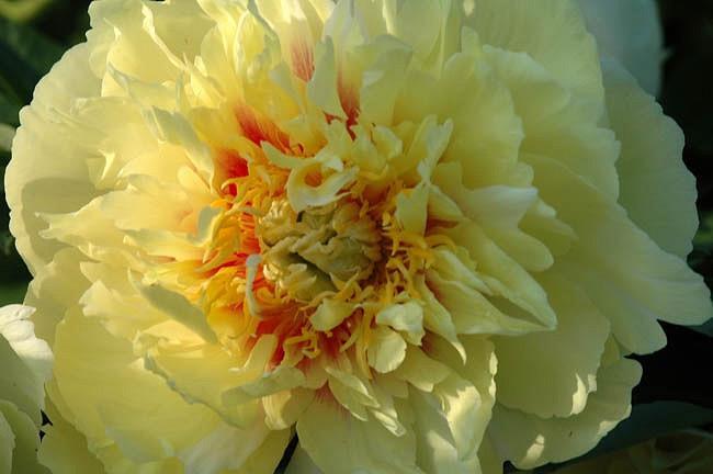 Paeonia 'Prairie Charm', Peony 'Prairie Charm', 'Prairie Charm' Peony, Itoh Peony 'Prairie Charm', Intersectional Peony 'Prairie Charm', Yellow Peonies, Yellow flowers, Fragrant Peonies