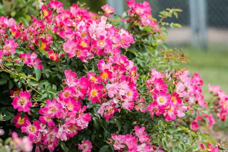 Rosa 'Pink Drift®', Rose 'Pink Drift®', Rosa 'Meijocos', Groundcover Roses, Pink Roses