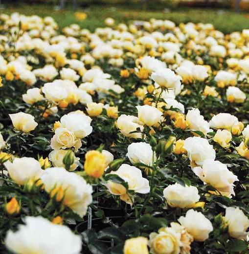 Rosa 'Popcorn Drift', Rose 'Popcorn Drift', Rosa 'Novarospop', Groundcover Roses, White Roses, Yellow Roses, Cream Roses