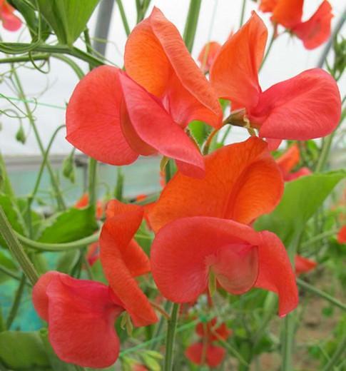Lathyrus Odoratus 'Prince of Orange',Sweet Pea 'Prince of Orange', Fragrant Flowers, Orange Flowers, Annuals, Annual plant, Cut flowers, deer resistant flowers