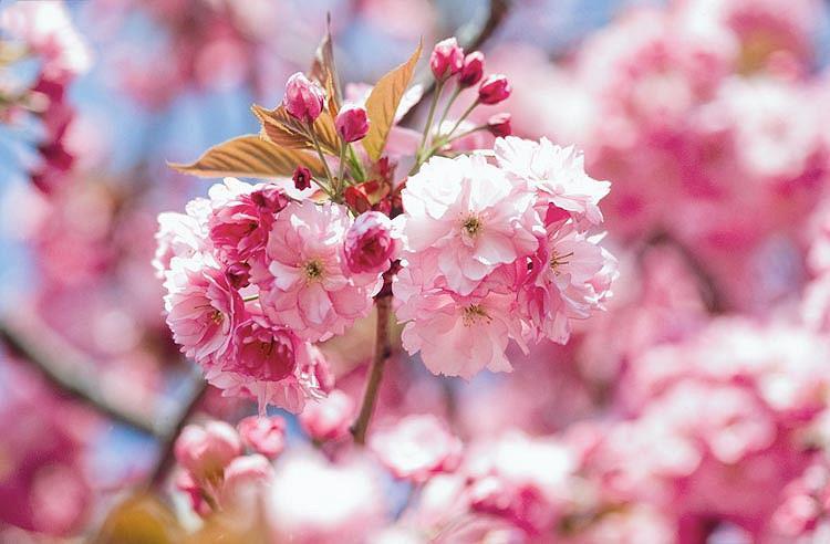 Prunus Kanzan Japanese Flowering Cherry