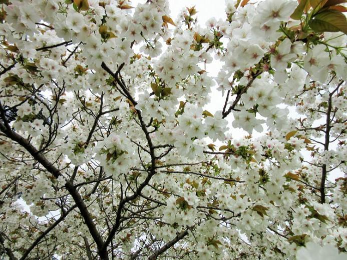 Prunus Tai Haku Japanese Flowering Cherry