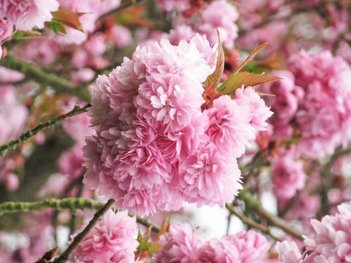 Prunus Asano Japanese Flowering Cherry
