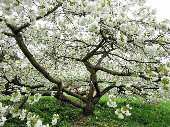 Prunus Shirotae Japanese Flowering Cherry