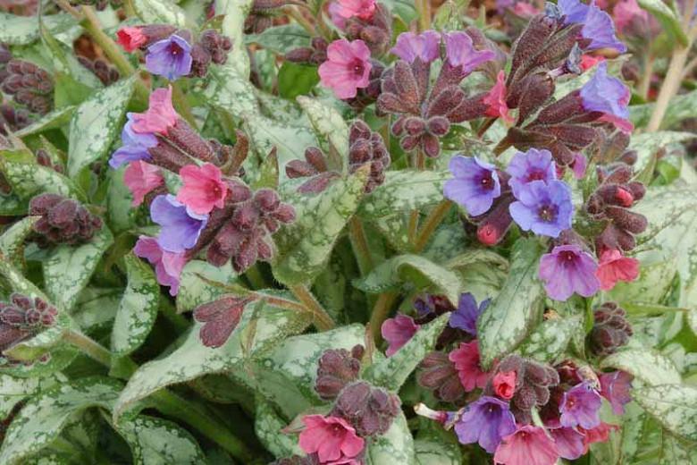Pulmonaria 'High Contrast', Lungwort 'High Contrast', High ContrastLungwort, Bethlehem Sage 'High Contrast', High Contrast Bethlehem Sage, Blue Flowers, Pink Flowers, Spring Flowers