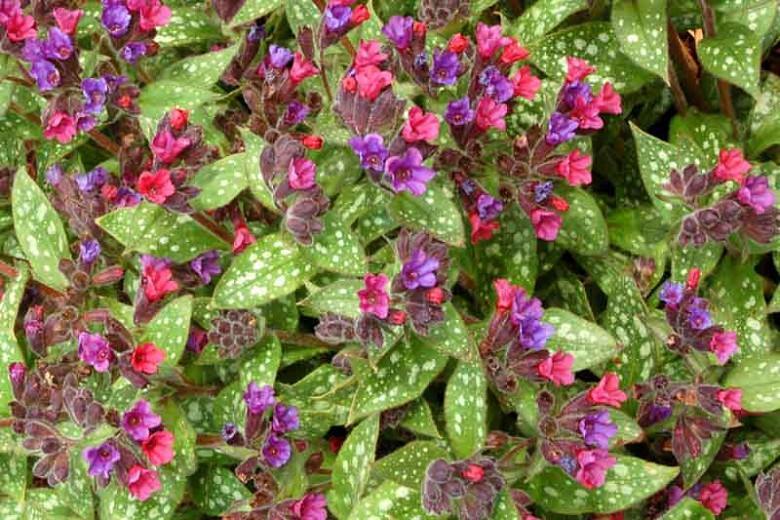 Pulmonaria 'Victorian Brooch', Lungwort 'Victorian Brooch', Victorian Brooch Lungwort, Bethlehem Sage 'Victorian Brooch', Victorian Brooch Bethlehem Sage, Blue Flowers, Pink Flowers, Spring Flowers