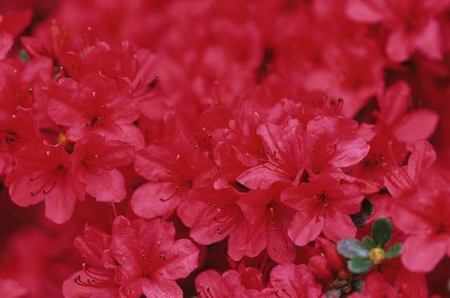 Rhododendron 'Hino Crimson', 'Hino Crimson' Rhododendron, 'Hino Crimson' Azalea, Azalea 'Hino Crimson, Evergreen Azalea, Early Midseason Rhododendron, Mid Season Rhododendron, Evergreen Rhododendron, red flowers, red rhododendron, red flowering shrub