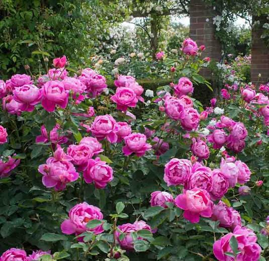 Rose 'Royal Jubilee', Rosa 'Royal Jubilee', English Rose 'Royal Jubilee', David Austin Roses, English Roses, Shrub roses, pink roses, Rose bushes, Garden Roses, English Rose
