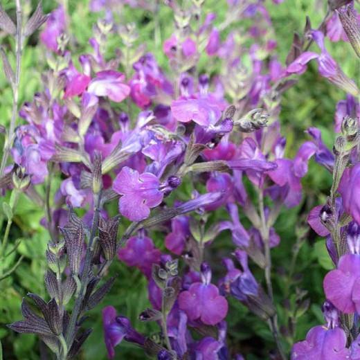 Salvia Ultra Violet, Sage 'Ultra Violet', Salvia lycioides x greggii 'Ultra Violet', Purple perennial, Purple Sage, Violet Salvia, Violet Sage