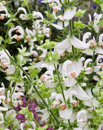 Salvia Sclarea 'Vatican White', Clary Sage 'Vatican White', Europe Sage 'Vatican White', Biennial Clary 'Vatican White', Muscatel Sage 'Vatican White',