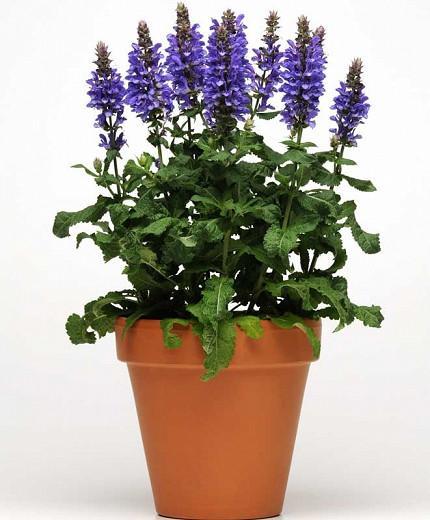 Salvia Nemorosa 'Blue Marvel', Sage 'Blue Marvel', Balkan Clary 'Blue Marvel', Steppe Sage 'Blue Marvel', Blue Sage, Blue Salvia