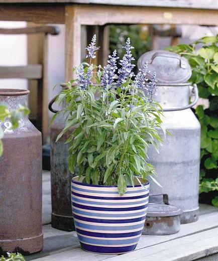 Salvia Farinacea Fairy Queen, Fairy Queen Mealycup Sage, Mealy cup sage Fairy Queen, Salvia Fairy Queen, Blue Salvia, Blue Sage, Blue flowers