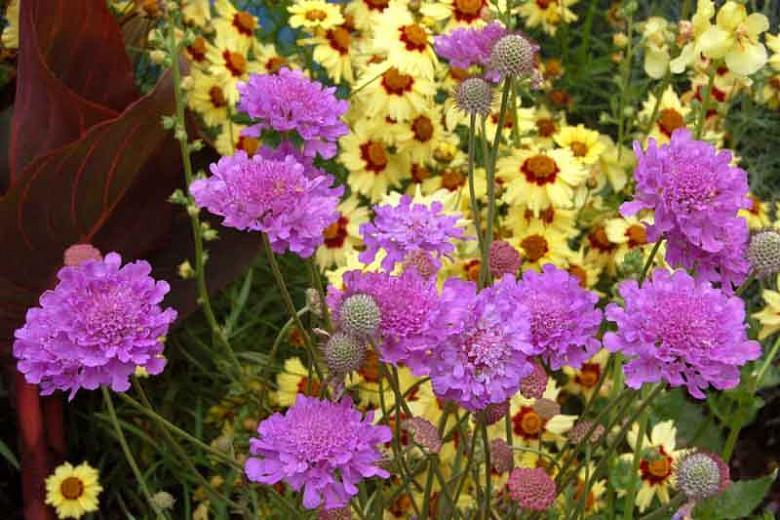 Scabiosa 'Vivid Violet', Pincushion Flower 'Vivid Violet', Scabious 'Vivid Violet', Scabiosa columbaria 'Vivid Violet', Blue Flowers, Blue perennials