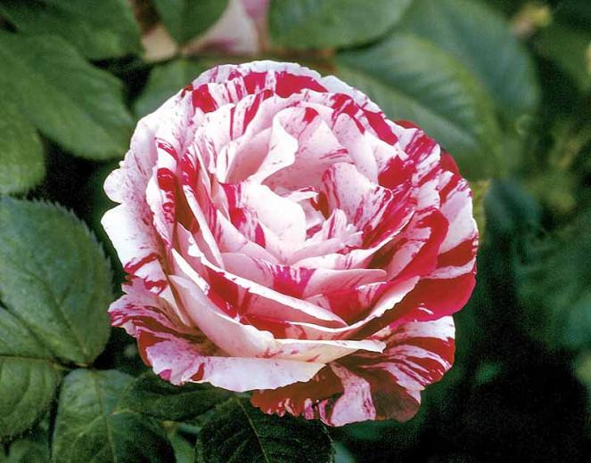 Rosa 'Scentimental',Rose 'Scentimental', Rosa 'WEKplapep', Shrub Roses, Floribunda Roses, White Roses, Red Roses, Bicolor Roses