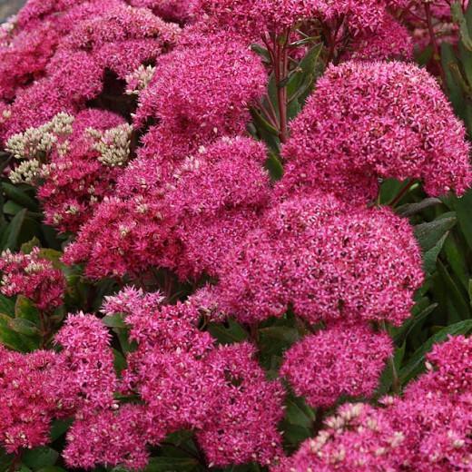 Sedum Mr Goodbud, Stonecrop Mr Goodbud, Ice Plant Mr Goodbud, Award Sedum, late summer perennial