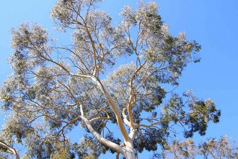 Eucalyptus Pauciflora Snow Gum