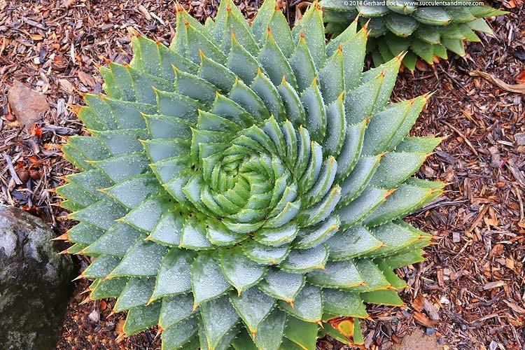 Aloe polyphylla (Spiral Aloe)