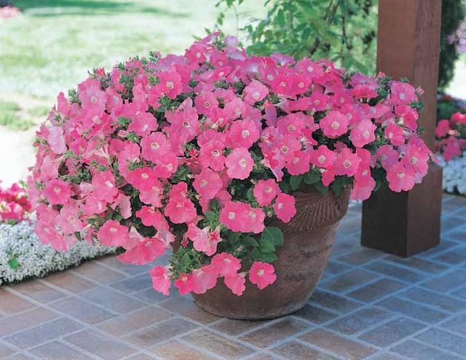 Petunia Easy Wave Pink