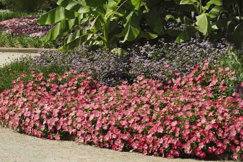 Petunia Easy Wave Rosy Dawn