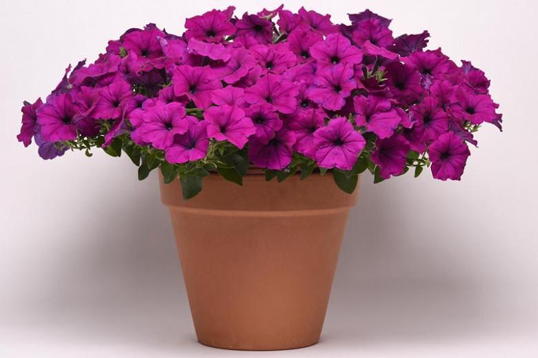 Petunia Easy Wave Violet