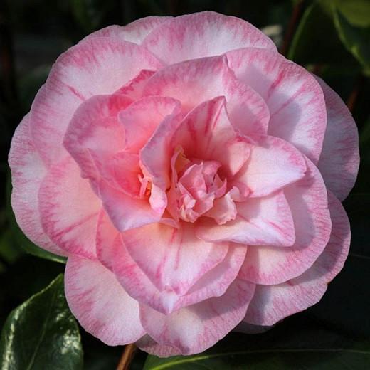 Camellia Japonica 'Spring Sonnet', Camellia 'Spring Sonnet', 'Spring Sonnet' Camellia, Winter Blooming Camellias, Spring Blooming Camellias, Mid Season Camellias, Pink flowers, Pink Camellias