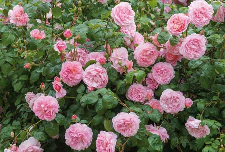 Rosa Strawberry Hill English Rose