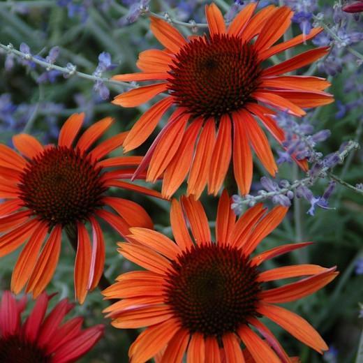 Coneflower 'Sundown', Echinacea 'Sundown', Coneflower Big Sky Sundown, Echinacea Big Sky Sundown, Orange Coneflower, Coneflowers, Cone flowers, Fragrant perennials, drought tolerant perennials