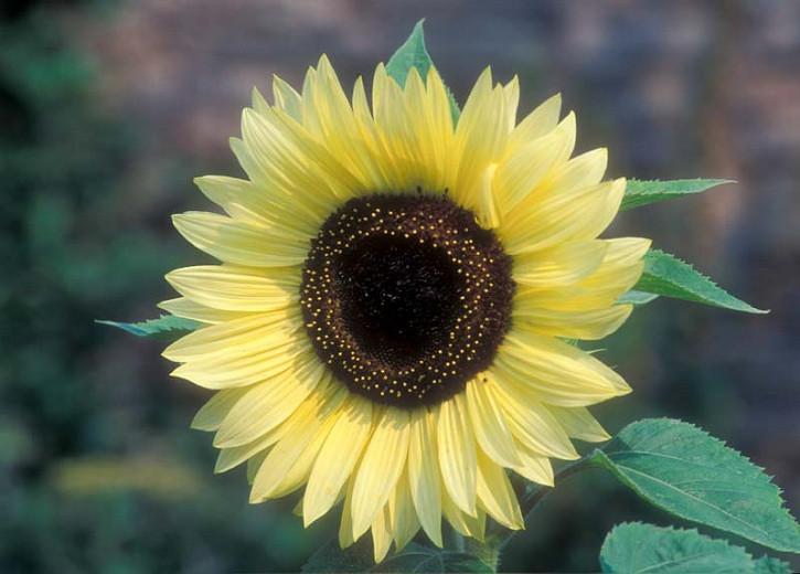 Helianthus annuus Valentine, Common Sunflower Valentine, Comb Flower Valentine, Golden Flower of Peru Valentine, St Bartholomew's Star Valentine, Creamy Flowers, Yellow Perennials, Creamy Sunflowers