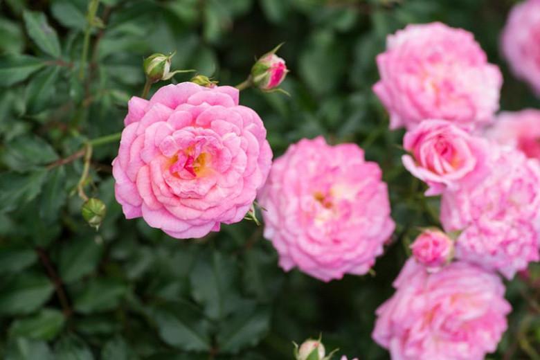 Rosa 'Sweet Drift®', Rose 'Sweet Drift®', Rosa 'Meiswetdom', Groundcover Roses, Pink Roses
