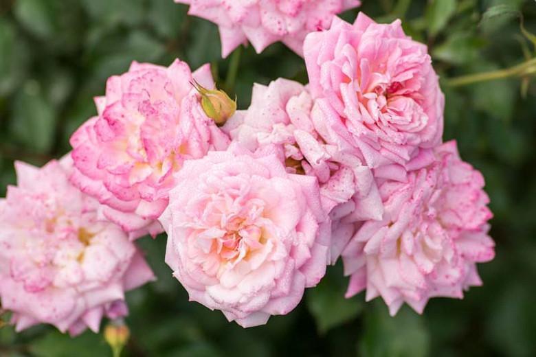Rosa 'Sweet Drift', Rose 'Sweet Drift', Rosa 'Meiswetdom', Groundcover Roses, Pink Roses
