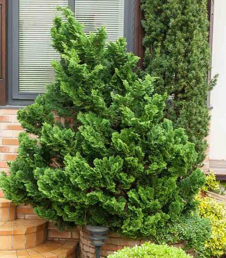 Chamaecyparis obtusa 'Nana Gracilis', Hinoki Cypress 'Nana Gracilis', 'Nana Gracilis' Hinoki Cypress, Chamaecyparis 'Nana Gracilis', Evergreen Shrub, Evergreen Tree, Small Conifer