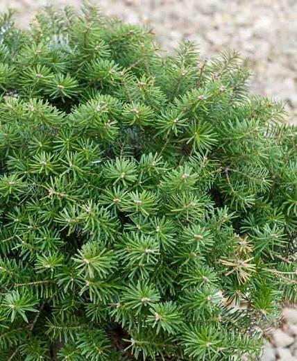 Abies koreana 'Green Carpet', Korean Fir 'Green Carpet', Green Carpet Korean Fir, Evergreen Conifer, Evergreen Shrub, Dwarf Conifer