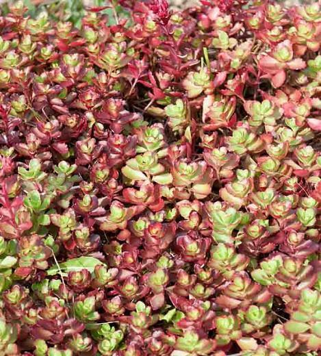 Sedum spurium 'Dragon's Blood', Stonecrop 'Dragon's Blood', Dragon's Blood Stonecrop, Red Sedum, Red Succulent
