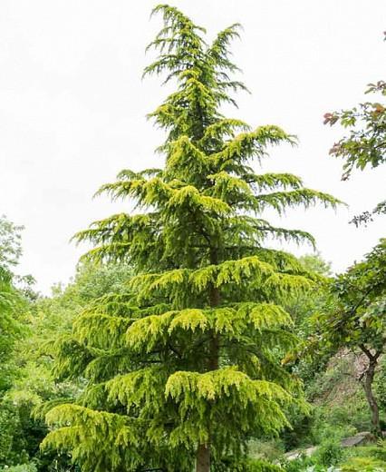 Cedrus deodara 'Aurea', Himalayan Cedar 'Aurea', Deodar Cedar 'Aurea', Conifer, Evergreen Tree, Golden Conifer, Yellow Conifer