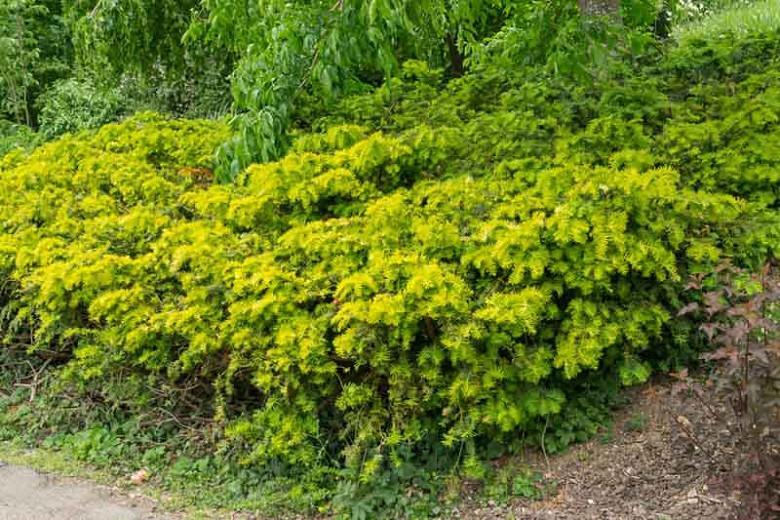 Taxus baccata 'Repens Aurea', English Yew 'Repens Aurea', Common Yew 'Repens Aurea', Taxus baccata 'Repandens Aurea', Evergreen Shrub, Evergreen Tree, Golden Conifer