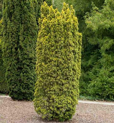 Taxus baccata 'Standishii', English Yew 'Standishii', Common Yew 'Standishii', Evergreen Shrub, Evergreen Tree