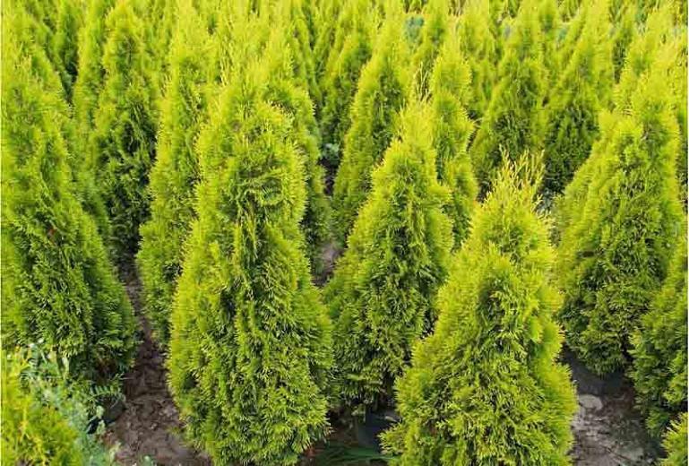 Thuja Occidentalis 'Janed Gold', Janed Gold Arborvitae, White Cedar 'Janed Gold', Northern White Cedar 'Janed Gold', Swamp Cedar 'Janed Gold'