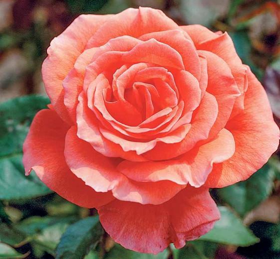 Rosa 'Tropicana', Rose 'Tropicana', Rosa 'Super Star', Rosa 'Tanor Star', Rosa 'TANorstar', Hybrid Tea Roses, Shrub Roses, Coral roses, Orange Roses, Shrub roses, Rose bush