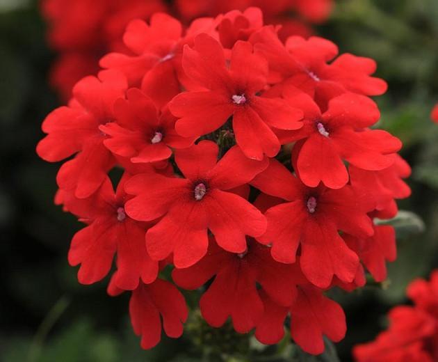 Verbena peruviana 'EnduraScape Red', Trailing Verbena 'EnduraScape Red', Glandularia 'EnduraScape Red', Verbena 'Balendred', EnduraScape Series, Red verbena, Drought tolerant plants