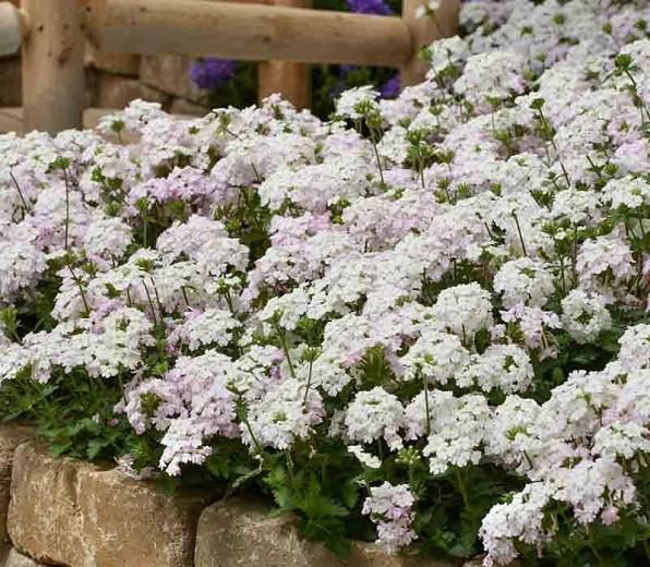 Verbena peruviana 'EnduraScape White Blush', Trailing Verbena 'EnduraScape White Blush', Glandularia 'EnduraScape White Blush', Verbena 'Balendish', EnduraScape Series, White verbena, Drought tolerant plants